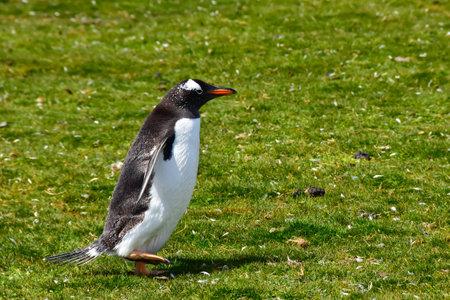 Gentoo Penguins out for a walk at Volunteer Point, Falkland Islands.