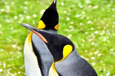 Two King Penguins at Volunteer Point, Falkland Islands.