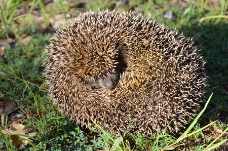 Cute hedgehog with a lovely muzzle curled on the grass. The hedgehog sniffs the air to define if there is any danger Stock Photo