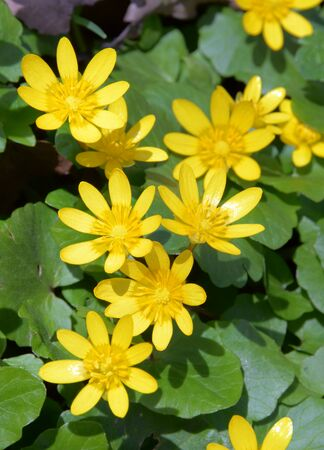 Pretty florets of saturated yellow color in direct sunlight. Lesser celandine (Ficaria verna, buttercup family) blooms beautifully in April