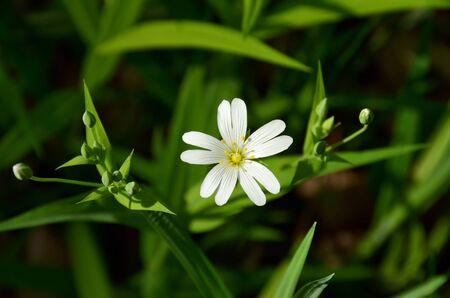 Stellaria holostea 또는 Greater stitchwort - 5개의 이중 꽃잎이 있는 작은 흰색 꽃. 섬세한 줄무늬 꽃잎에 의해 형성된 백설 공주 화관. 녹색 새싹 사이의 장면 스톡 콘텐츠
