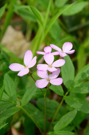 A small inflorescence of the pink florets among grass. Light-colored flowerets, tinted in pale pink, under diffused lighting. Four-bladed, delicate & fragile, forest flower