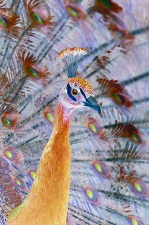 Fairy bird: artistic image based on picture of peafowl male. Amazing peacock in fabulous vivid colors