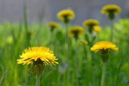 Vivid yellow dandelion on a foreground of the blurred flowers and grasses. A closeup scenery of the saturated yellow dandelions, lit by bright and shaded daylighting