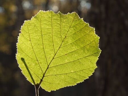 Natural scenes: a picturesque rounded leaf with the fine-downy edges, highly lit from the backside