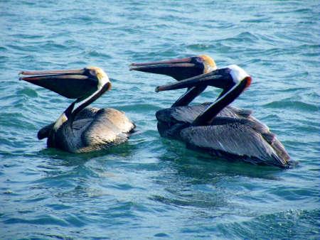 Three pelicans.