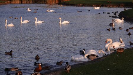 Swans swim in the lake with ducks without fear of people