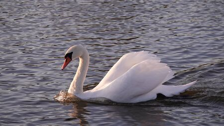 Swans swim in the lake with ducks without fear of people Foto de archivo