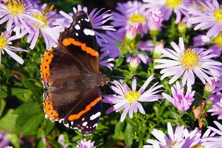 Butterfly eats nectar with flowers in its proboscis