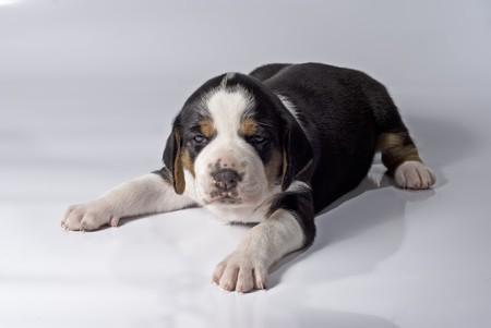 A 3 weeks old Finnish Hound puppy on white background.