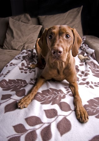 A Hungarian Vizsla on sofa staring at camera.