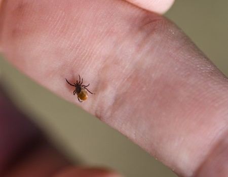 Tick crawling on human finger. Stock Photo