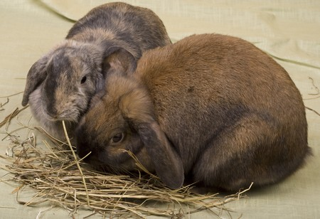 Two pet bunnies eating hay straws. Stock Photo