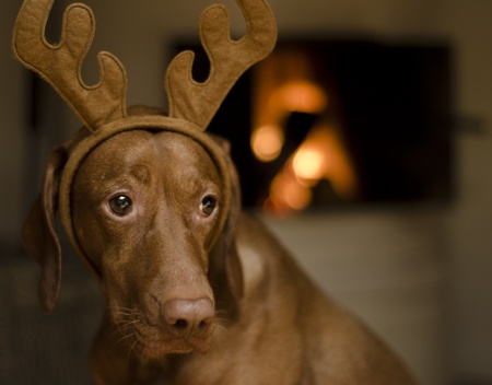 Beautiful brown female Hungarian Vizsla dog dressed as a Christmas reindeer. photo