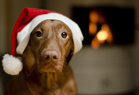 Beautiful brown female Hungarian Vizsla dog dressed in a santa hat. photo