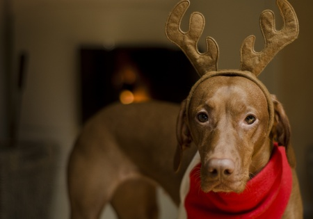 Beautiful brown female Hungarian Vizsla dog dressed as a Christmas reindeer. Stock Photo