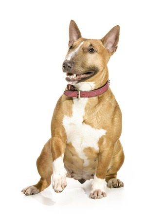 Beautiful female miniature Bull terrier sitting, smiling and lifting a paw  Isolated on white background  Stock Photo