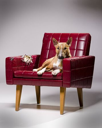 Female miniature bull terrier laying on a destroyed armchair