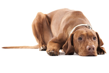 Young female Hungarian Vizsla laying on the ground looking tired and sad