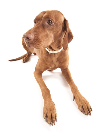 Wide angle portrait of a beautiful brown dog  Isolated on white background