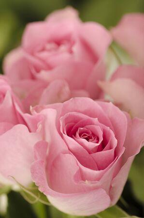 Beautiful rosebuds in pastel pink color