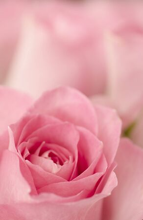 Beautiful rosebuds in pastel pink color  Copy space in upper part of image