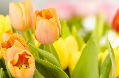Colorful picture of orange tulips on foreground  Other flowers blurry on background  Stock Photo