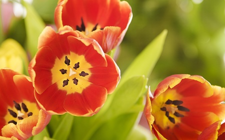 Colorful closeup of red and yellow colored tulips  other flowers blurry on background