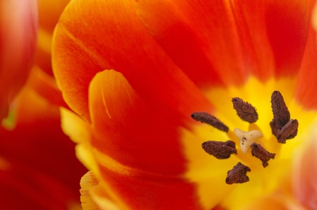 Macro closeup of a red and yellow colored tulip flower