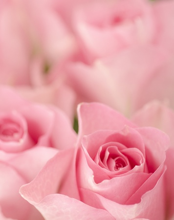 Shallow depth of field picture with romantic pink roses  Stock Photo