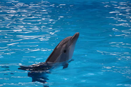 fish exhibition: lonely gray dolphin in blue water