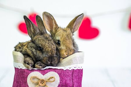 live Bunny to a basket with a red heart. Card with an animal on Valentine's day. Cute little hares close up on a white background. i love you. Agriculture, rabbit breeding.