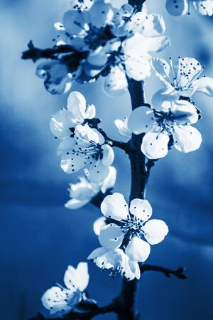 White apricot tree flowers close-up. Tinting in classic blue. Soft focus. Spring gentle blurred card. Blooming cherry blossom branch. The beginning of season , the awakening of nature.