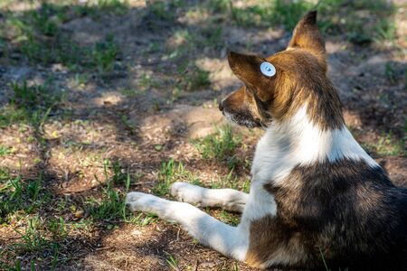A stray neutered dog with a chip in its ear. Sad mongrel lying on the ground. Abandoned lone pet on the grass in a summer Park. Copy space. Space for text. Stok Fotoğraf