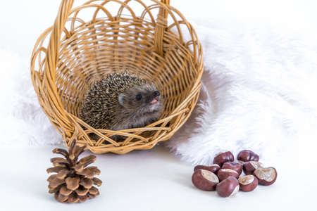 Funny hedgehog sitting to a wicker basket and smiling cheerfully on a white background. Postcard with an animal. Autumn composition with chestnuts and checkers. Space for text. Copy space. Standard-Bild