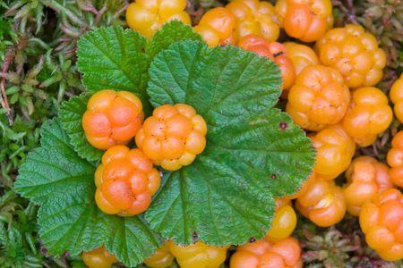 rubus chamaemorus: Rubus chamaemorus  Foto de archivo