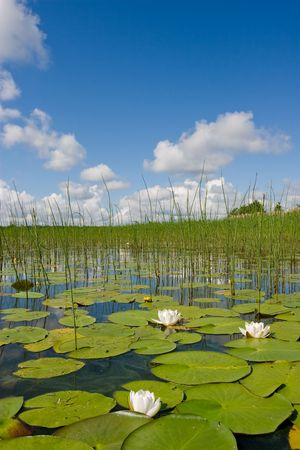 Summer landscape with water flowers Stock Photo