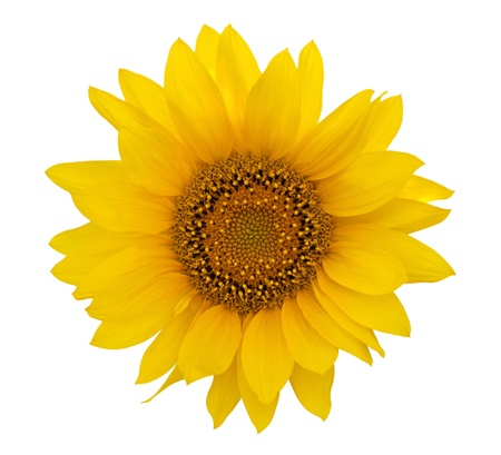 Yellow sunflower on white background photo