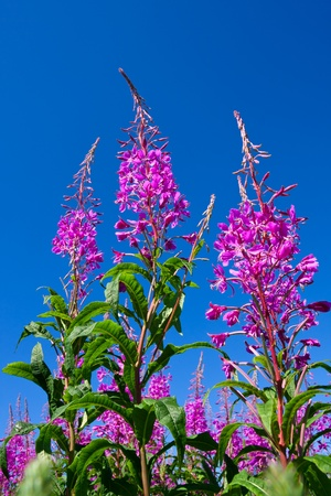 fireweed: Purple Alpine Fireweed