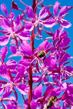 fireweed: flowering spikes of fireweed Stock Photo