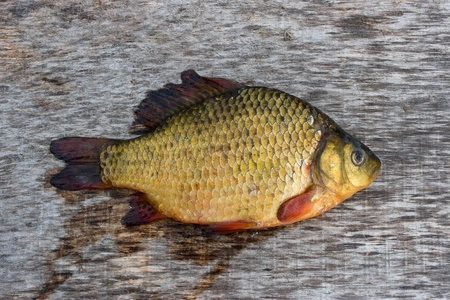 Freshwater fish Stock Photo - 9304808