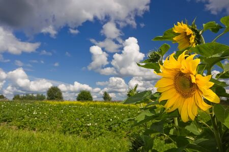 Summer landscape with sunflowers and beautiful clouds photo