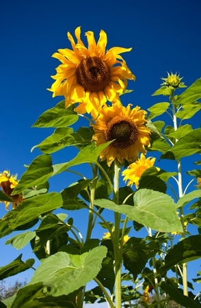 Close-up of sunflower against a blue sky background photo
