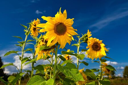 Beautiful sunflowers in the field against blue sky photo