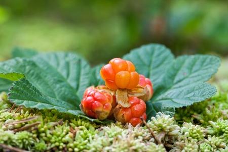 Cloudberry closeup in summer. Fresh wild fruit photo