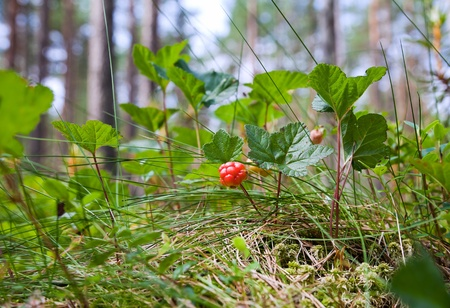 Berry - ripe cloudberries among a grass Stock Photo