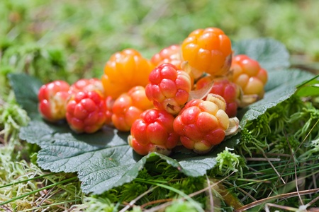 Cloud berries on a bog close up in summer