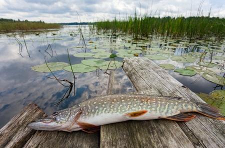 Crude, fresh fish (pike) photo