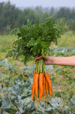 Bunch of carrots in a hand with soft background
