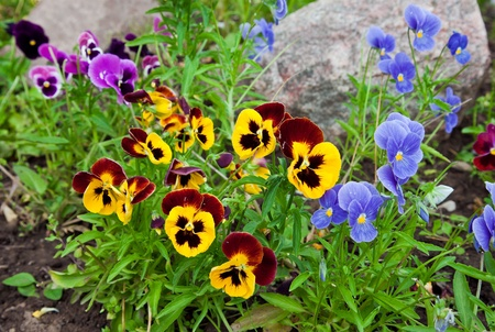 Violas or Pansies Closeup in a Garden Stock Photo